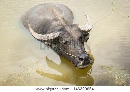 the big black buffalo on water buffalo
