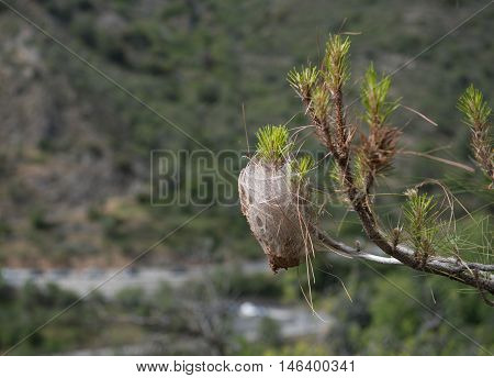 Pine tree infected with bag worm cocoon. Plant disease.