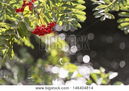 Rowan Fruit on Tree with leaves and water in the background.