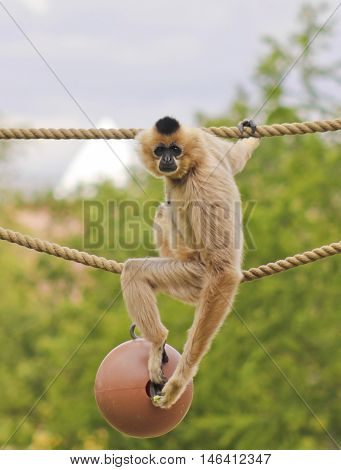 A Light Brown Gibbon Genus Hylobates Sits on a Rope