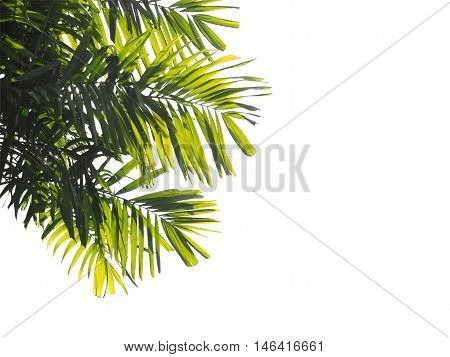 close up palm leaves isolated on white background