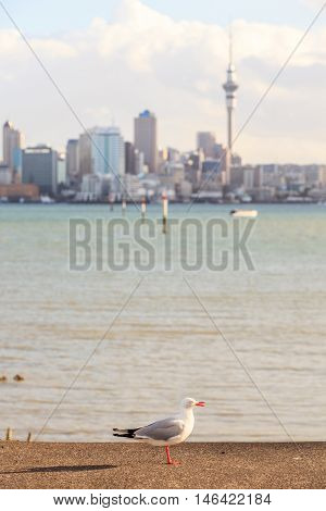 Focus on lone seagull bird with blurred background of Auckland's city.