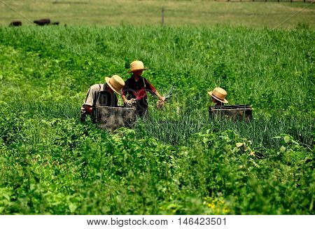 Lancaster Country Pennsylvania - June 8 2015: Three Amish boys harvesting scallions in a field on the family farm