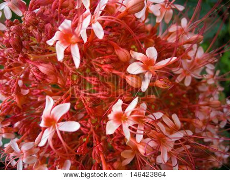 red ixora pavetta flowers in canning hill Thailand