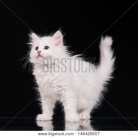 Cute fluffy white kitten over black background