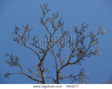 """Trees"": Magnolia Buds And Nest In Blue Sky"