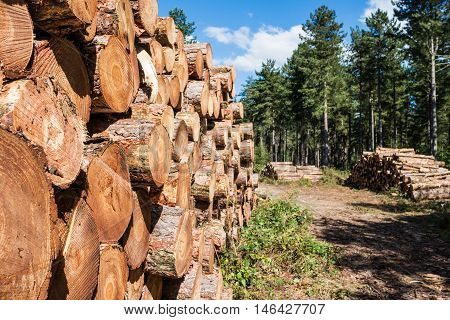 Freshly cut lumber wood stored in the forest