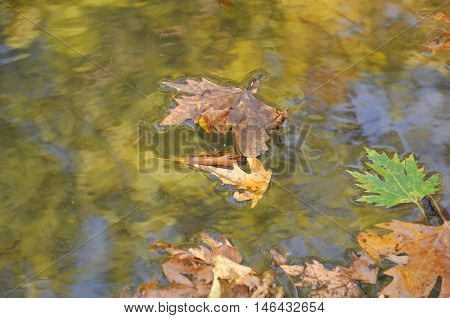 yellow maple leaf in the water. Sunny weather