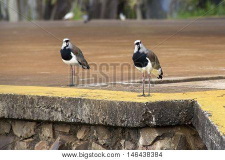 Bird song in civilization. Urban nature bird.