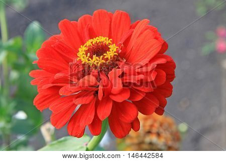 Red zinnia elegans flower in summer time