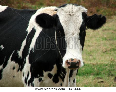 Animal - Cow Look At You