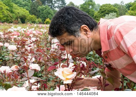Asian middle aged man smelling a rose in a public rose garden.