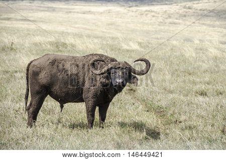 Very durty African buffalo or Cape buffalo (Syncerus caffer) in Ngorongoro Tanzania