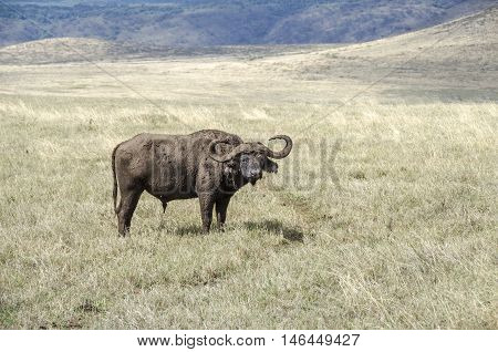 African buffalo or Cape buffalo (Syncerus caffer) in grassland of Ngorongoro Tanzania