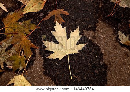 Yellow maple leaf on wet the asphalt