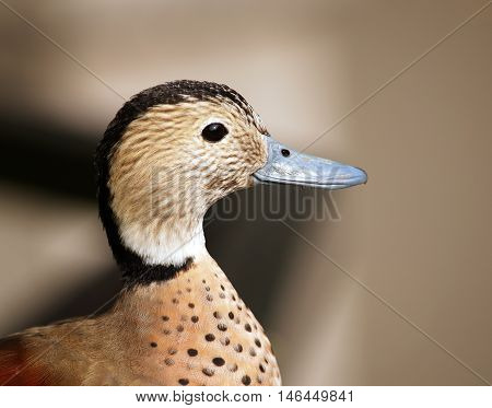 Portrait of male of teal - Anas leucophrys