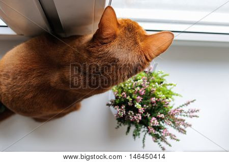 Purebred abyssinian cat sitting on the windowsill with heather and looking out the window indoor