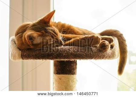 Purebred abyssinian cat lying on scratching post indoor