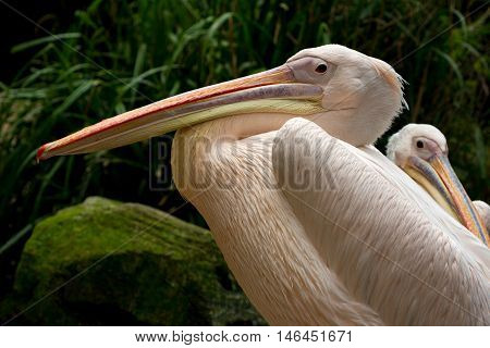 Relax rosy pelicans portrait. Photography of wildlife.