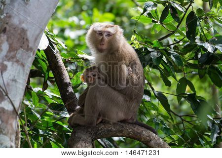 Pig-tailed Macaque Macaca nemestrina mother and daugther on tree