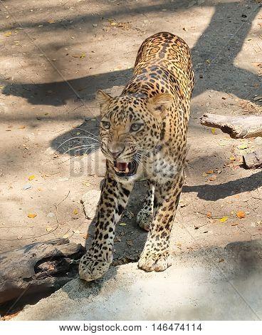 Animal and Wildlife Young Jaguar or Panthera Onca Walking Toward The Victim in A Safari.