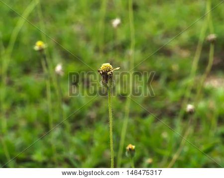 Coat buttons, Mexican daisy, Tridax daisy, Wild Daisy or Tridax procumbens