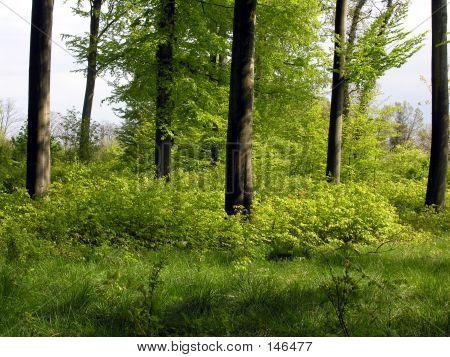 Danish Beech Wood