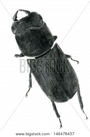 Hand drawn pencil sketch of a lesser stag beetle back illustration isolated on white