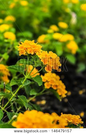 the beautiful Lantana in the flower garden