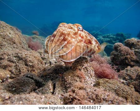 Pharao cuttlefish or Sepia pharaonis. Marine Life in the Red Sea. Egypt