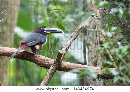 Black Beaked Toucan With A Scary Looking