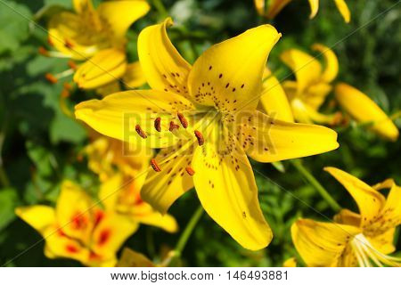 Beautiful yellow lily growing in the garden