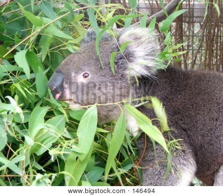 Animal - Koala