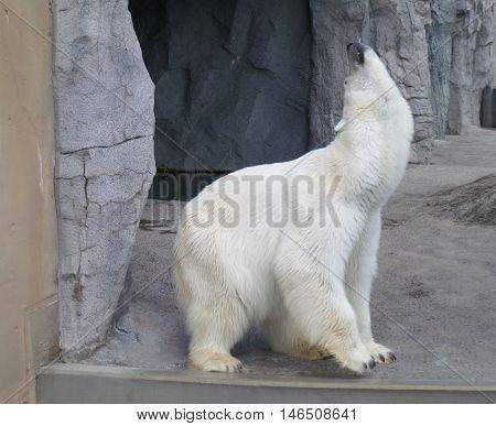 Portrait of roaring Polar Bear, Hokkaido, Japan
