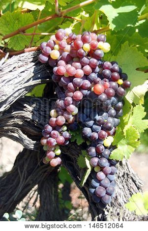 Branch of ripe beautiful juicy purple grapes growing in a vineyard - a time to harvest and make wine