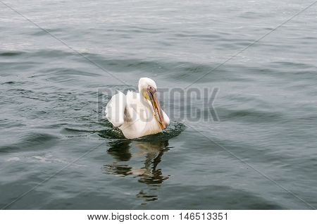 A great white pelican with caught fish in the beak Walvis Bay Namibia