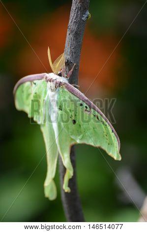 A Luna moth on a branch in the garden