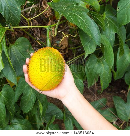 Gac fruit on hand. Gac fruit tree ( Momordica cochinchinensis )