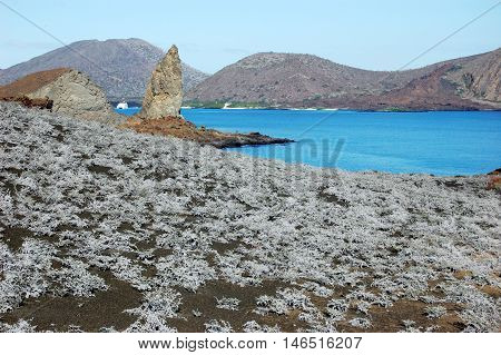 Tiquilia plants on volcanic soil, with Pinnacle rock in the distance, Sullivan Bay, Galapagos
