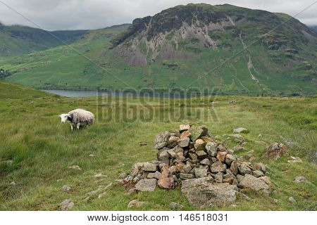 Mountain Sheep.  A sheep grazing on the foothills of Sca Fell above Wast Water with Yewbarrow in the background in the English Lake District, Cumbria