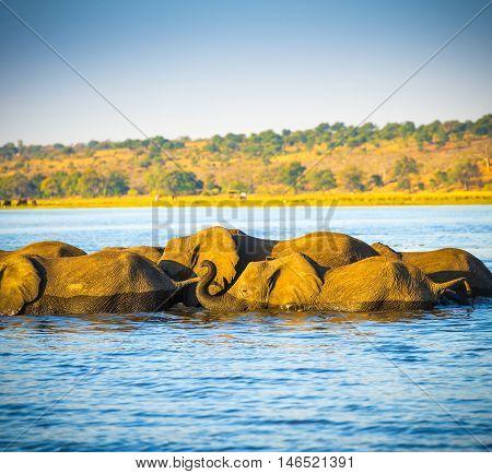 Elephant Herd Crossing Chobe River
