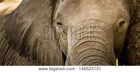 Elephant Portrait Close Up
