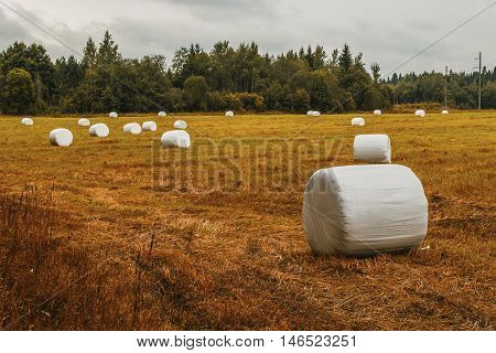 field with hay is collected in packing at autumn dull day
