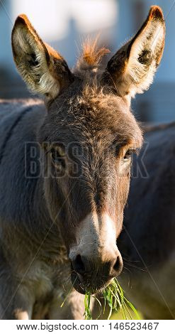 Close up of a brown and white donkey looking at camera and eating green grass