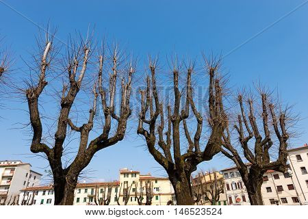 Leafless trees in the spring before flowering in an Italian city Tuscany Pistoia Italy