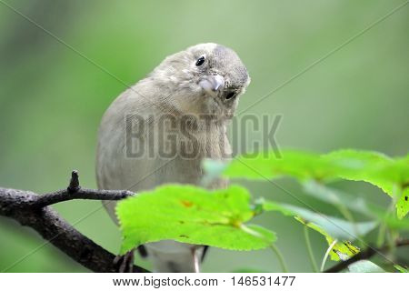 Juvenile Common Chaffinch (Fringilla coelebs) in autumn. Russia Moscow region