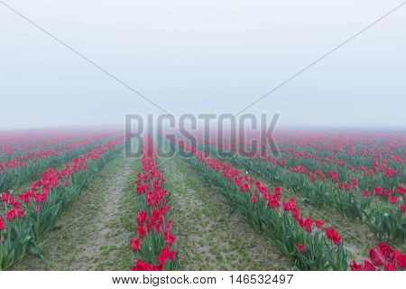 Many rows of red tulips during misty morning fog overcast rainy weather in the field