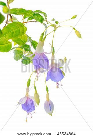 Blooming Beautiful Twig Hanging Fuchsia Flowers In Shades Of Blue And White Is Isolated On White Bac