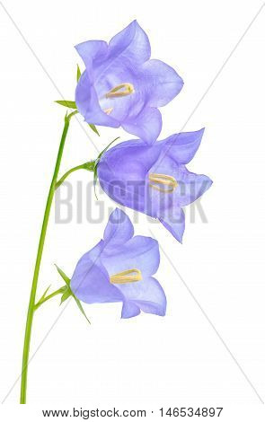 Beautiful Blooming Bluebell Flower Is Isolated On White Background For Greeting Card, Close Up