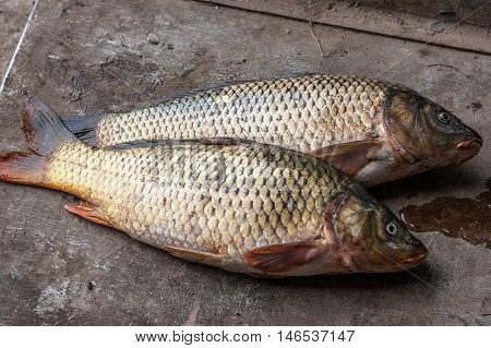 Two carp has just caught on a fishing trip.